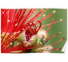 Bottle Brush Bloom Poster
