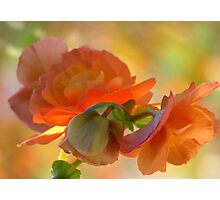 A Beguiling Begonia Photographic Print