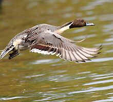 Northern Pintail (male) by Alinka