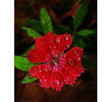 Red Dianthus With Raindrops Photographic Print