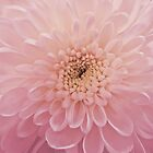 Chrysanthemum by shalisa
