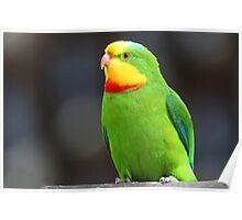 ''Superb Parrot'' Poster