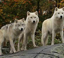 The guardians of the pack by Heather King
