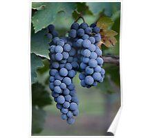 Grapes, Napa Valley, California Poster