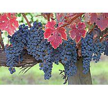 Grapes, Napa Valley, California Photographic Print