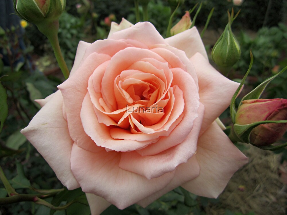 Faded Rose by Lunaria