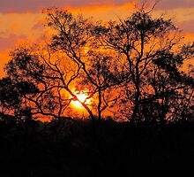 A gum tree kissed by the setting Sun. by giftedmum