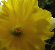 Daffodil Destiny by MarianBendeth