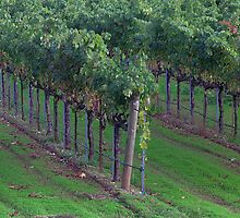 Vine Lines, Sonoma County, California by Brendon Perkins