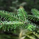 Coniferous Pine Tree Branch by Nadine Staaf