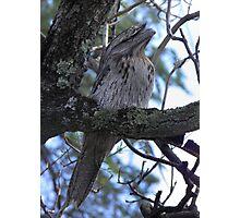 Tawny Frogmouth (Podargus strigoides) - Kensington Park, South Australia Photographic Print