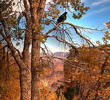 A Young Raven In Autumn At The Grand Canyon by Diana Graves Photography