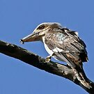 Kookaburra Feeding by Rick Playle