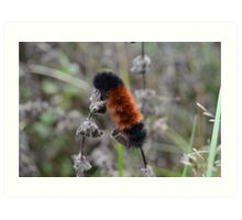 Fuzzy Woolly Bear Caterpillar Orange and Black Art Print