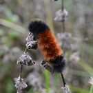 Fuzzy Woolly Bear Caterpillar Orange and Black by Nadine Staaf