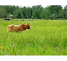 Crazing & Cow Photographic Print