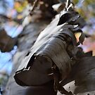 Birch Tree Paper Bark by Nadine Staaf