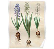 Johannes Simon Holtzbecher Hyacinthoides orientalis simp et pl Poster