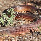Mulga Snake by EnviroKey