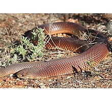 Mulga Snake Photographic Print