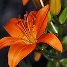 Lily by Dennis Cheeseman