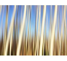 Birch Forest Photographic Print