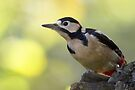 Greater Spotted Woodpecker by Neil Bygrave (NATURELENS)