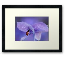 Ladybird  on purple hydrangea Framed Print