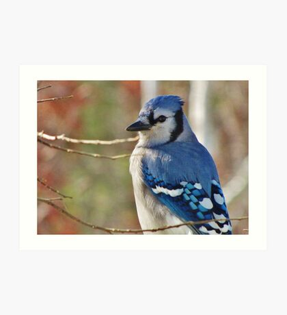 Blue Jay in Autumn Art Print