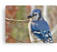 Blue Jay in Autumn Metal Print