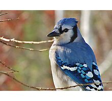 Blue Jay in Autumn Photographic Print