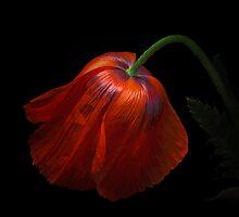 The big Red Poppy by EbyArts