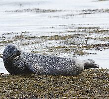Hauled out Common Seal by kernuak