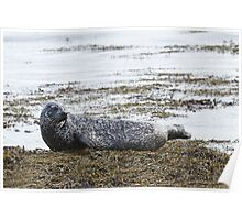 Hauled out Common Seal Poster