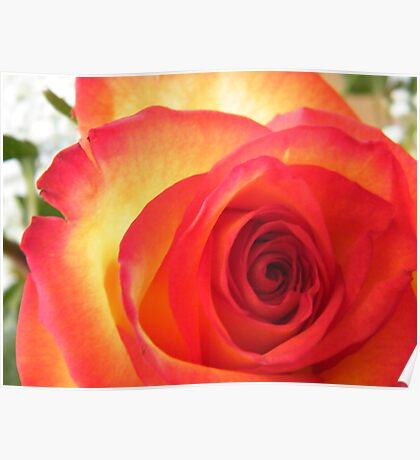 Red and Yellow Rose Poster