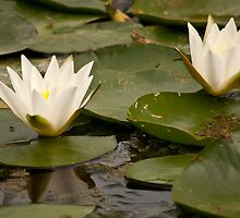 Pair of White Water Lilies by Wealie