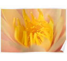Pale Pink and Yellow Water Lily Poster