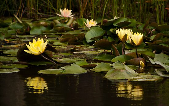 Yellow Water Lilies by Wealie