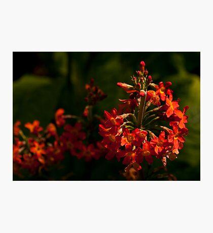 Firery Buds Photographic Print