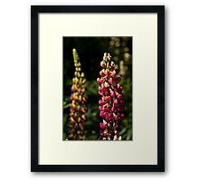Pink Lupins Framed Print