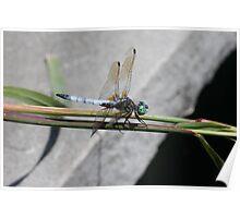 Still Shy Dragonfly Poster