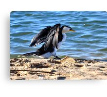 Little Pied Cormorant Canvas Print