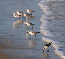 Piping Plovers by Robin Black