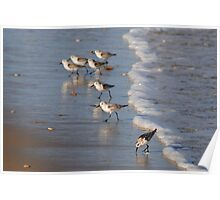 Piping Plovers Poster