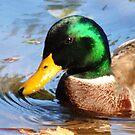 Duck by Robin Black
