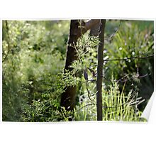 Australian native clematis microphylla Poster
