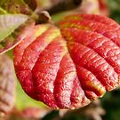 a red leaf by tego53