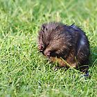 Camera shy baby Muskrat by Alinka