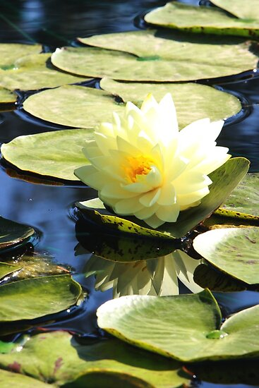 Perry's Double Yellow Water Lily Backlit by Robert Armendariz