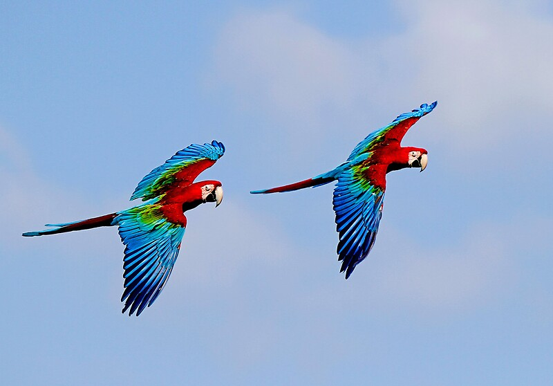 Red Macaw Parrot Flying Red Macaw Flying | www...